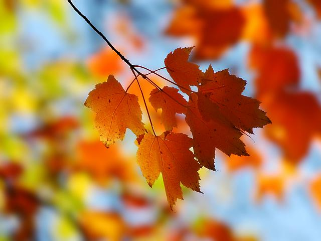 Fall_Maple_1600