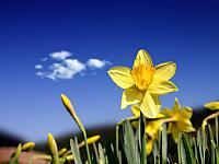 Daffodil_Days_1600