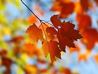 Fall_Maple_1600