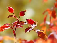 Fall_Rose_Hips_1600