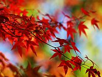 Maple3_1600